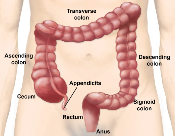 Colon in the Human Body