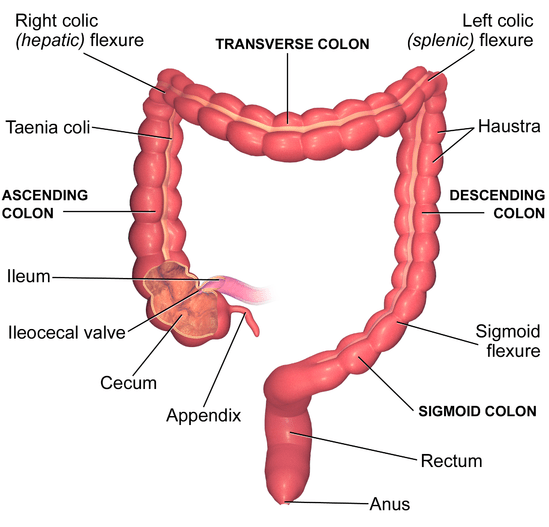 enema issues - Large Intestine Main Features