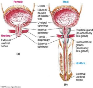 external_urethral_sphincter